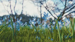 blue flowers in field